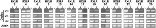 Expression levels of H. arabidopsidis RXLR genes in A. thaliana.Semi-quantitative analysis of the expression levels of the RXLR transgenes from H. arabidopsidis Waco9 in A. thaliana accession Col-0. Expression levels were assessed in two independent transgenic lines using RXLR gene-specific primers. Depicted are ethidium bromide-stained agarose gels with PCR products after 20, 25 or 30 cycles of PCR amplification. The PCR product of the A. thaliana actin gene (At3g18780) was used as internal control (25 cycles of PCR amplification).