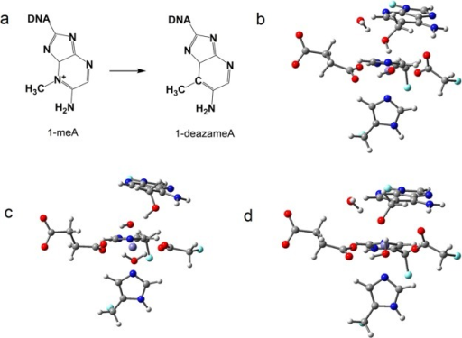 (a) Chemical structuresof 1-meA and 1-deazameA. (b, c, d) 1-DeazameA-relatedintermediates. Carbon atoms are colored in gray, hydrogen in white,nitrogen in blue, oxygen in red, iron in purple, and boundary carbonatoms for pseudo-bond in cyan.