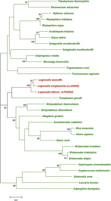 Phylogenetic analysis shows the eukaryotic origin of the carboxypeptidase S28 family protein (Llo0042/Lfa0022). The species belonging to bacteria and eukaryotes are shown in red and green, respectively. Numbers next to tree nodes correspond to bootstrap values. The bar at the bottom represents the estimated evolutionary distance.