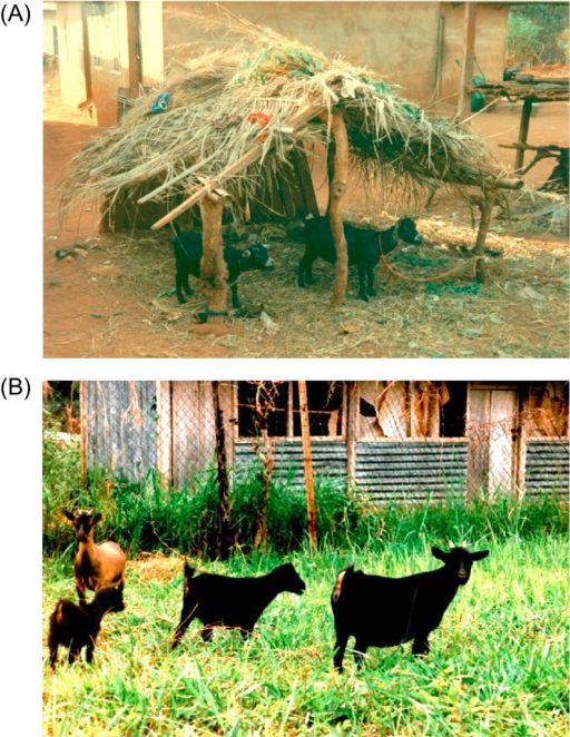 Traditional methods of WAD goat housing and management. The figure shows goats confined in their shelter (Fig. 2A) and those on limited browsing (Fig. 2B) near their owner's premises.
