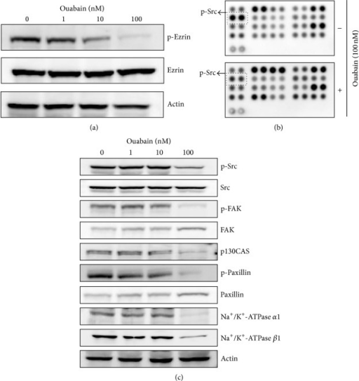 Proteome profiler array analysis of phosphokinase and validation. (a) Effects of ouabain on the expression and phosphorylation of ezrin were evaluated by Western blot analysis. Actin was used as an internal control. (b) For phosphokinase array study, 300 μg of proteins obtained from A549 cells (5 × 105 cells in a 60 mm2 dish) treated with vehicle (DMSO) or ouabain octahydrate for 24 h in the membranes was probed. (c) Effects of ouabain on the expression and/or phosphorylation of Src, FAK, p130CAS, paxillin, and Na+/K+-ATPase subunits were evaluated by Western blot analysis.