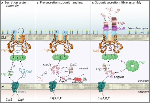 The three stages of curli fiber biogenesis. (A) Secretion system assembly: CsgE and CsgG achieve the translocation of CsgF, which folds and binds CsgG. Loss of CsgE results in a dramatic reduction in surface display of CsgF. (B) Pre-secretion subunit handling: Incoming CsgA or CsgB monomers interact with CsgC, which delays spontaneous formation of toxic oligomers. It is expected that subunits within this CsgC-buffered pool (signified by the dashed circle) are either secreted, digested or revert to an amyloidogenic pathway. (C) Subunit secretion, nucleation and fiber assembly: Each curli subunit encounters CsgE (nonamers?) and becomes trapped within the periplasmic cavity of CsgG. Partially folded subunits then traverse the central pore and are released into the extracellular milieu. The folding pathway of periplasmic CsgA determines the appearance and properties of extracellular fibers, thus it is unlikely that CsgA is secreted as a linear polypeptide. Once outside the cell, CsgB is interacts with CsgF and initiates nucleation of the CsgA fiber.