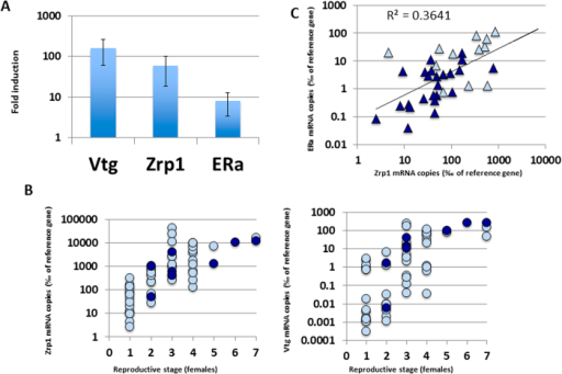 Analysis of hepatic mRNA levels of estrogen-responsive genes in European high mountain lakes.A) Fold induction in mRNA levels for Vtg, Zrp1 and ERα in estradiol-treated juvenile trouts. Data represents average fold induction and standard deviations. B) Correlation of Vgt (left) and Zrp1 (right) mRNA levels in S. trutta females from Pyrenees (pale blue) and Tatras (dark blue) with reproductive stage (1- undifferentiated, 7- mature oocytes/spawning). C) Double log correlation between ERα and Zrp1 mRNA levels in males from Pyrenees (pale blue) and Tatras (dark blue). The corresponding linear regression and the correlation coefficient are shown.