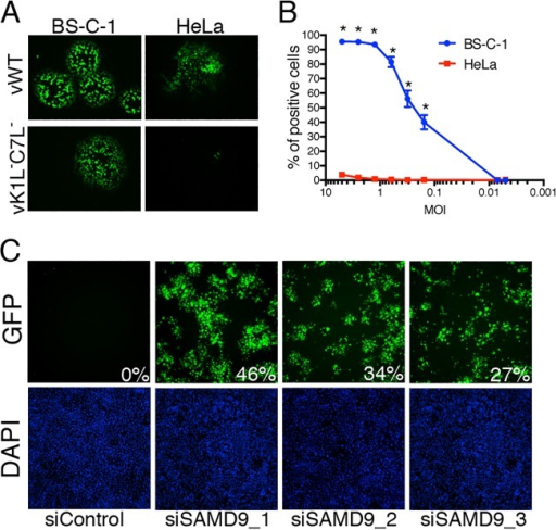 Rescue of vK1L−C7L−/GFP+ by siRNAs. (A) Replication of vK1L−C7L−/GFP+ in monkey BS-C-1 cells, but not in human HeLa cells. Cells were infected with wild-type VACV expressing GFP (vWT) or vK1L−C7L−/GFP+ and incubated for 48 h at 37°C with a methylcellulose overlay. The images were taken with a fluorescence microscope. (B) Effect of virus multiplicity on virus spread. HeLa and BS-C-1 cells were seeded into 384-well plates, and 48 wells of each cell type were infected with each serial dilution of vK1L−C7L−/GFP+. After 18 h, the cells were fixed with 2% paraformaldehyde. The nuclei were stained with DAPI (4′,6-diamidino-2-phenylindole) and imaged by automated fluorescence microscopy. GFP-positive cells were scored and plotted against a logarithmic scale of the multiplicity of infection (MOI). Values are means ± standard deviations (error bars). Values that are significantly different (P ≤ 0.0001) as calculated by two-way ANOVA and Bonferroni test after ANOVA comparing each dilution in permissive versus nonpermissive cells are indicated by an asterisk. Calculations were made using PRISM by GraphPad. (C) SAMD9 siRNAs restore replication of vK1L−C7L−/GFP+ in HeLa cells. Images of the GFP channel (top panels) and DAPI stain (bottom panels) were taken from the genome-wide siRNA screens. Three separate SAMD9 siRNAs and a control siRNA (siControl) were tested. The percentages of GFP-positive cells are indicated.