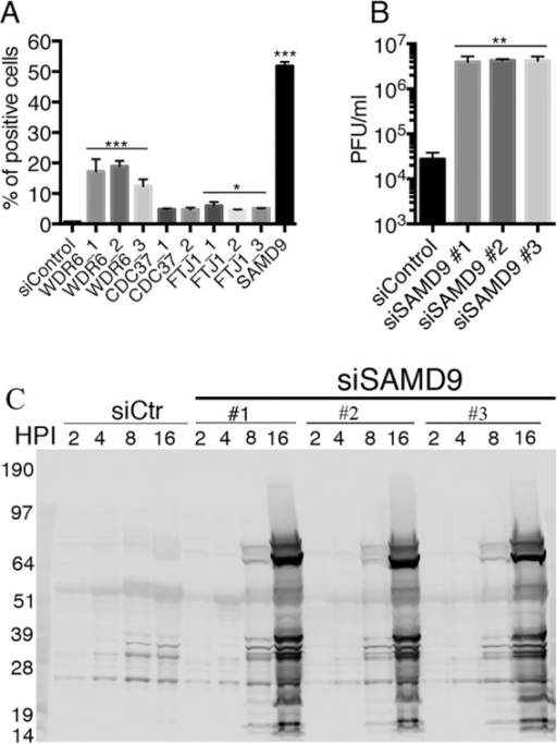 Validation of SAMD9 as a major host restriction factor for vK1L−C7L−/GFP+. (A) Comparison of positive-hit siRNAs. The indicated siRNAs were individually transfected into HeLa cells in a 24-well format. After 48 h, the cells were infected with 0.01 PFU of vK1L−C7L−/GFP+ per cell and incubated for 18 h. GFP-positive cells were scored by flow cytometry. Data from three experiments each carried out in triplicate were combined. Values are means plus standard deviation (error bars). Values that are significantly different from the siControl value calculated by Bonferroni test after the one-way ANOVA test using PRISM GraphPad software are indicated by asterisks as follows: ***, P ≤ 0.001; *, P ≤ 0.05. (B) Replication of vK1L−C7L−/GFP+ in HeLa cells transfected with SAMD9 siRNA. Three different SAMD9 siRNAs and control siRNA were transfected into HeLa cells in a 24-well format. After 48 h, the cells were infected with 0.01 PFU of vK1L−C7L−/GFP+ and incubated for 24 h. Cells were lysed by freezing and thawing, and infectious virus titers were determined by plaque assay on permissive BS-C-1 cells. Data from two experiments each carried out in triplicate were combined. Values are means plus standard deviation (error bars). Values that are significantly different (P ≤ 0.005) from the siControl value calculated by Bonferroni test after the one-way ANOVA test using PRISM GraphPad software are indicated (**). (C) Synthesis of viral proteins in HeLa cells transfected with SAMD9 siRNA and infected with vK1L−C7L−/GFP+. HeLa cells were transfected with control (siCtr) or three different SAMD9-specific siRNAs for 48 h and then infected with 3 PFU of vK1L−C7L−/GFP+ per cell for the indicated hours postinfection (HPI). The cells were lysed, and the proteins were resolved by SDS-PAGE and Western blotting with broadly reactive antibodies to VACV proteins. The electrophoretic positions of molecular mass markers (in kilodaltons) are indicated to the left of the gel.