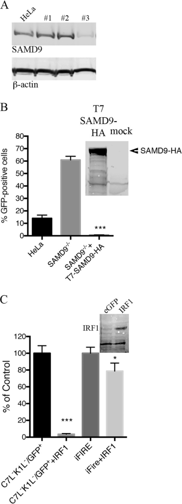 Rescue of vK1L−C7L−/GFP+ by inactivation of SAMD9 and inhibition of replication by IRF1. (A) Generation of SAMD9-deficient cells by CRISPR/CAS9 technology. HeLa cells were transfected with the CRISPR/Cas9 components as described in Materials and Methods. Colonies were lysed, and their proteins were resolved by SDS-PAGE and analyzed by Western blotting to detect endogenous SAMD9 and β-actin as a loading control. Colony 3 was chosen for further experiments and labeled as SAMD9−/− HeLa cells. (B) Functional validation of SAMD9−/− HeLa cells. Normal HeLa cells and SAMD9−/− HeLa cells were infected with 0.01 PFU of vK1L−C7L−/GFP+. One set of infected SAMD9−/− cells were transfected with T7-SAMD9-HA. After 18 h, GFP-positive cells were scored by flow cytometry. (Inset) Western blot demonstrating expression of SAMD9 by T7-SAMD9-HA. Data from two separate experiments each performed in triplicate were combined. Values are means plus standard deviations (error bars). The value that was significantly different (P ≤ 0.001) from the value for the untransfected control, calculated by Bonferroni test after one-way ANOVA using PRISM GraphPad software is indicated (***). (C) Overexpression of IRF1 prevents spread of vK1L−C7L−/GFP+ in SAMD9−/− HeLa cells. SAMD9−/− cells were mock transfected or transfected with plasmid expressing IRF1 regulated by the CMV promoter. At 30 h after transfection, the cells were infected with 0.01 PFU of vK1L−C7L−/GFP+. After an additional 18-h incubation, GFP-positive cells were scored by flow cytometry. (Inset) Western blot showing IRF1 expression. Data from three separate experiments performed in triplicate were combined. Values are means plus standard deviations (error bars). The values that were significantly different calculated by Bonferroni test after one-way ANOVA using PRISM GraphPad software are indicated by asterisks as follows: ***, P ≤ 0.001 relative to the value for C7L−K1L−/GFP+; *, P ≤ 0.05 relative to the value for iFire.