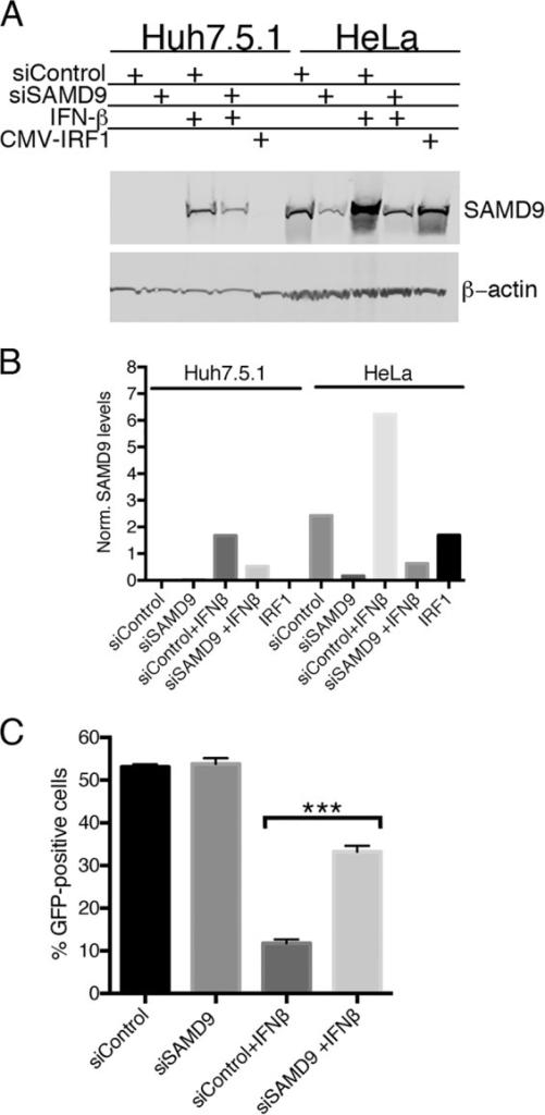 Interferon induces SAMD9 expression in Huh-7.5.1 cells and inhibits replication of vK1L−C7L−/GFP+. (A) Induction of SAMD9 in Huh-7.5.1 cells. Huh-7.5.1 and HeLa cells were transfected with control siRNA or SAMD9 siRNA, and 24 h later, the cells were treated with 200 U/ml of IFN-β or left untreated. After an additional 24 h, the cells were lysed and analyzed by Western blotting with antibodies to SAMD9 and β-actin as a loading control. (B) Quantification of SAMD9. The bands in panel A were quantified using Image Studio software from LI-COR. The intensities of SAMD9 bands were normalized to the intensities of the β-actin bands. (C) Inhibition of vK1L−C7L−/GFP+ replication in Huh-7.5.1 cells treated with IFN-β and partial reversal with SAMD9 siRNA. Huh-7.5.1 cells were transfected with control siRNA or siRNA to SAMD9 for 24 h and then were left untreated or treated with 200 U/ml of IFN-β for 24 h. After infection with 0.01 PFU of vK1L−C7L−/GFP+ per cell for 18 h, GFP was measured by flow cytometry. Data from two experiments each performed in triplicate were combined. Values are means plus standard deviation (error bars). Values that are significantly different (P ≤ 0.001) calculated as Bonferroni test after one-way ANOVA using PRISM GraphPad software are indicated (***).