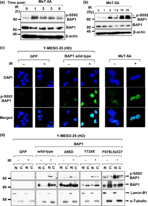 Irradiation (IR) induces phosphorylation of BRCA1-associated protein 1 (BAP1). (a) Western blot analysis with anti-pS592-BAP1 antibody revealed that endogenous WT BAP1 was phosphorylated after IR at 7.5 Gy. (b) BAP1 phosphorylation levels increased in proportion to IR doses. *Non-specific bands. (c) Immunofluorescence analysis showed dominant nuclear localization of phosphorylated-BAP1 protein at 1 h post-IR (7.5 Gy). (d) Western blot analysis of nuclear/cytoplasmic fractionation tested the localization of exogenously transduced BAP1 and its phosphorylated form in malignant mesothelioma cells with BAP1 deletion. HD, homozygous deletion.