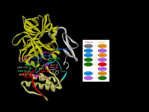 3D ribbon model of the docked complex of FXa and daboxin P.The interface surface residues involved in the interaction were predicted by PDBsum. The Ca+2 binding loop (Trp30, Gly31, Gly32); helix C (Asp48, Tyr51, Gly52); anticoagulant region (Asn58) and C-terminal region (Phe113) of daboxin P interact with the heavy chain of FXa (Thr132, Arg165, Lys169, Asn166, Leu170, Tyr225 and Arg125) are represented in scaled ball and stick. Inset: Diagram illustrating the interaction of the seven residues of chain B (heavy chain of FXa) with eight residues of chain C (daboxin P) as predicted by PDBsum server. Orange line denotes non-bonded contacts and blue line denote hydrogen bond.