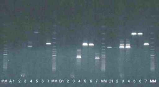 Amplification of rDNA ITS with three sets of primers specific for kinetoplastids: A : KIN1 and KIN2 [6] (ITS1), B : IR1 and IR2 [7] (ITS1-2), and C : TRYP1R and TRYP1S (original primers) (ITS1), with DNA of T. lewisi (from 4 different rat buffy-coats 1, 2, 3, 4) T. vivax (5, 6) and T. brucei (7). MM = molecular marker Super ladder 100®, bands are in 100 bp increments, 100 bp band is visible as the topmost band.