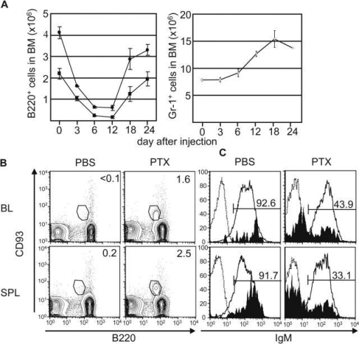 PTX elicits BM lymphopenia and mobilizes CD93+B220loIgM− cells. BM, blood (BL), and spleen (SPL) cells were harvested from BL/6 mice 0–24 d after injection of 300–500 ng PTX and analyzed by flow cytometry. (A) Dynamics of BM B cell subsets (left) and granulocytes (right). Points represent mean ± SEM numbers of B220lo (•), B220hi (▪), and Gr-1+ (⋄) cells from two femurs. (B) Appearance of CD93+B220loIgM− cells in the periphery after PTX treatment. FACS® profiles of CD93+B220lo and CD93−B220lo cells from BL and SPL in PBS- and PTX-treated mice are shown. Percentages of cells in the CD93+B220lo gate are indicated. (C) PTX elicits populations of CD93+B220loIgM− cells in BL and SPL. Representative FACS® profiles of surface IgM expression by CD93+B220lo cells. Shaded areas, solid lines, and dashed lines represent surface IgM expression by CD93+B220lo, CD93−B220hi, and B220− cells, respectively. Percentages of IgM+ cells in CD93+B220lo cell gates are shown.