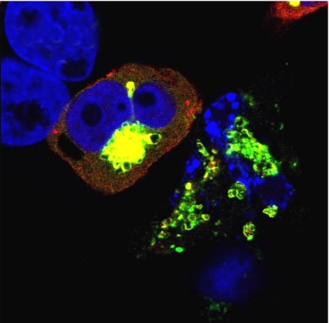 Proapoptotic JNK3 (yellow) clusters near mitochondria (red) only when MyD88-5 (green) is present.