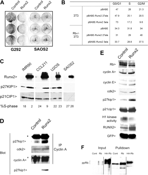 Runx2 induces a growth arrest through induction of p27KIP1. (A) Effect of ectopic expression of runx2 on colony suppression assay. (B) Retroviral vectors expressing runx2 27ala or runx2 3ala were used to infect 3T3 or RB−/− 3T3 cells, followed by selection for 3 d in 2 μg/ml puromycin. Cell cycle profile was determined by flow cytometry. (C) IMR90, CCL-211, SAOS2, and U2OS cells were infected with adenoviral constructs expressing FLAG-tagged runx2. Western blot for runx2, p27KIP1, and p21CIP1. The percentage of cells in S-phase, derived from parallel cultures subjected to DNA analysis by flow cytometry, is indicated (bottom). (D) CCL-211 cells were infected with adenoviral constructs expressing runx2. Cyclin A immunoprecipitates were subjected to Western blot for p27KIP1, Cdk2, and cyclin A. The bottom panel is directly blotted for p27KIP1. Asterisks indicate Ig heavy chain bands. (E) Cyclin A immunoprecipitates assayed for kinase activity in the presence of runx2. CCL-211 cells were treated as in C. Direct Western blot for Rb, cyclin A, cyclin E, Cdk2, p27KIP1, p21CIP1, runx2, and GFP to demonstrate equal titers of virus in each culture. (F) Runx2 binds the hypophosphorylated form of pRb. COS-7 cells were transfected with vector, pRb, and HA-tagged pRb. A pulldown was performed using GST-runx2. Input is 5% of that used for the pulldown. ppRb, phosphorylated species of pRb. Black lines indicate that intervening lanes have been spliced out.