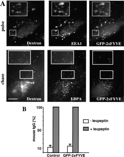 GFP-2xFYVE does not inhibit bulk transport to late endosomes in vivo. (A) As in Fig. 1 A, a pulse of rhodamine dextran was endocytosed with or without chase in cells expressing a double FYVE domain associated to GFP (GFP-2xFYVE). Cells were analyzed as described in the legend to Fig. 1 A. (B) Cells expressing or not expressing GFP-2xFYVE were incubated overnight with 40 μg/ml mouse IgGs with or without 50 μg/ml leupeptin. Endocytosed IgGs were revealed using anti-mouse antibodies and cells were analyzed by double channel fluorescence microscopy. The total number of labeled vesicles (containing IgGs in red) was counted for each condition in control cells or cells expressing GFP-2xFYVE. Vesicles in ≥20 cells were counted for each condition in three different experiments. Numbers were similar whether GFP-2xFYVE was present or not, and are expressed as a percentage of the total number of vesicles in leupeptin-treated cells, to facilitate direct comparison. Bar, 2.5 μm.