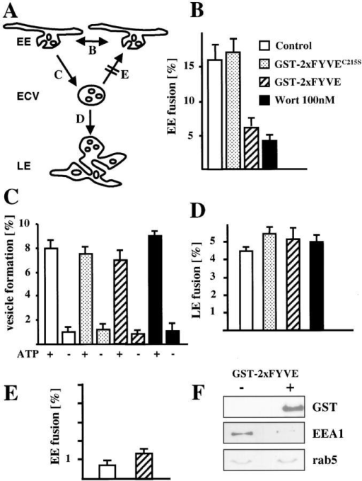 PI3P signaling is not necessary for ECV biogenesis. (A) The different transport steps that were studied in vitro are shown with reference to the corresponding panels: homotypic early endosome (EE) fusion (B), ECV biogenesis (C), and ECV fusion with late endosomes (LE) (D). ECVs lose the capacity to fuse with EEs in vitro (E) and acquire the capacity to fuse with LEs (D). (B–F) The homotypic fusion of early endosomes (B), the formation of ECVs (C), and the fusion of ECVs formed in vitro with late (D) or early (E) endosomes were measured in vitro in the absence (control) or presence of 100 nM wortmannin, 3 μg/100 μg endosomal protein GST-2xFYVE or C215S mutant, and ATP, as indicated. Note the relatively high efficiency of ECV fusion with late (D) but not early (E) endosomes, when compared with the efficiency of ECV formation (C). (F) Early endosomes were incubated with or without GST-2xFYVE and analyzed by Western blotting using antibodies against the indicated proteins.