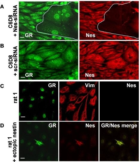 Cytoplasmic localization of GR depends on the presence of nestin.(A) Suppression of Nes expression in C6D8 cells by transfection with nestin specific siRNA abolishes cytoplasmic GR staining; only nuclear GR staining is left. (C) GR is only nuclear in rat 1 cells which contain vimentin, but lack nestin. (D) Ectopic expression of nestin in rat1 cells induces cytoplasmic accumulation of GR. Bars in A, B, C, F, and G = 5 µm.