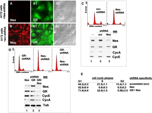 Suppression of nestin by RNA interference induces a G1/S cell cycle arrest.(A, A1, A2) Human A172 cells transduced with nestin specific shRNA (Nes-shRNA) show loss of nestin expression (A) and increased nuclear GR staining (A1); (B, B1; B2) localization of Nes (B) and GR (B1) in A172 cells transduced with scrambled shRNA (scr-shRNA). (C) Cells expressing Nes-shRNA are arrested in G1/S transition, indicated by the altered cell cycle profile, the decrease in cyclin A expression, and maintenance of cyclin E expression (C, lane 3). (D) Suppression of GR in advance impairs activation of a G1/S arrest by Nes-shRNA. Cyclin A is detectable, cyclin E does not accumulate to high levels (D, lane 3). (E) Proportions of cell cycle phases in A172 cultures expressing scrambled, Nes specific, or in a sequential manner GR and Nes specific shRNA. Mean values and SDs are of three independent experiments, counting 10,000 cells in each experiment; bar in A and B = 10 µm.