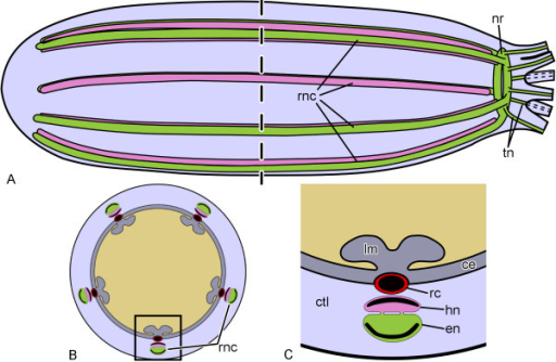 Simplified Diagrams Of The Anatomical Organization Of T Open I