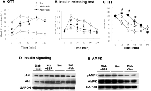 BBR decreased fasting blood glucose without improvement in insulin sensitivity.(A) Effects of BBR treatment on OGTT in diabetic rats. Oral glucose tolerance test (OGTT) was conducted with glucose 2 g.kg−1 body wt after 5 week BBR treatment (380 mg.kg−1 day−1) (n = 6). (B) Insulin release during the OGTT (n = 6). (C) ITT test (n = 6). The test was conducted after 8 hour fasting with insulin (0.75 U.kg−1 body wt). Nor, normal rats without obesity; Diab+Veh: Diabetic rats treated with vehicle; Diab+BBR, diabetic rats treated with BBR. # P<0.05, compared with Diab+Veh. (D) Insulin signaling. Phosphorylation of Akt (Ser473). Rats were challenged with insulin (0.75 U.kg−1, intraperitoneal injection) and liver was collected in 30 minutes. The Akt assay was performed in a Western blot. Loading control is GAPDH. (E) Expression and phosphorylation of AMPK (Thr172). # P<0.05, compared with Diab+Veh group. * P<0.05, compared with normal group (Nor).