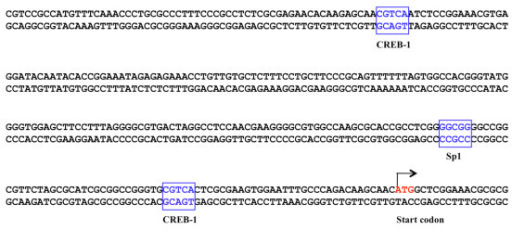 Diagram of the promoter region structure of the XPC gene. The consensus sequences of transcription factors CREB-1 and Sp1 were highlighted in the box. The start codon of the XPC gene is labeled in red.