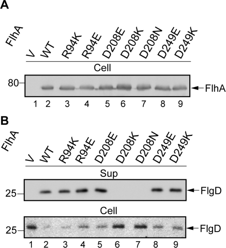 Absolute requirement of a negatively charged residue at position 208 of FlhA.(A) Expression levels of the mutant FlhA proteins. Immunoblotting, with polyclonal anti-FlhAC antibody, of a flhA  strain transformed with pUC19-based plasmids encoding various forms of FlhA. V, pUC19; WT, wild-type FlhA; R94K, FlhA(R94K); R94E, FlhA(R94E); D208E, FlhA(D208E); D208K, FlhA(D208K); D208N, FlhA(D208N); D249E, FlhA(D249E); D249K, FlhA(D249K). (B) Secretion of FlgD. Immunoblotting, using polyclonal anti-FlgD antibody of whole cell (Cell) and culture supernatant (Sup) fractions prepared from the above strains.