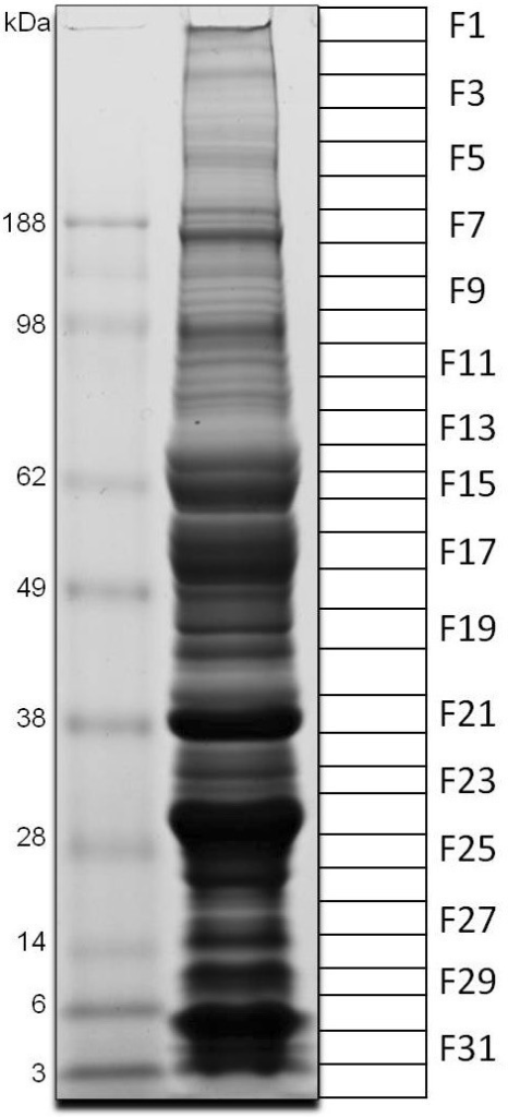 1-D gel electrophoresis of Simulium guianense salivary gland homogenates. The numbers at the left indicate the mol wt of the protein standards (kDa), shown in the left lane. The right gel lane shows the separation of the salivary gland proteins. The grid at the right (F1-32) represents the gel slices submitted for tryptic digest and tandem mass spectrometry identification.