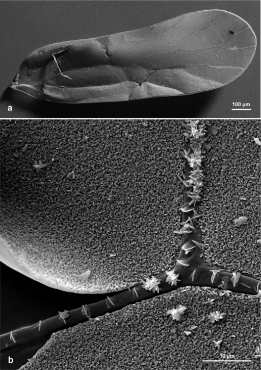Psyllipsocus yucatan, black female, SEM micrographs.(a) Right fore wing (untreated), general view of ventral surface (micrograph A. Wetzel, Bern). (b) Left fore wing (gold coated), ventral surface, completely smooth membrane visible at left due to local detachment of crystalline layer.