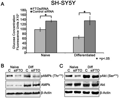 Effect of FTO knockdown on glucose uptake and downstream signaling in SH-SY5Y cells.(A) Cells were transfected with siRNA and then incubated 48 hrs post-transfection or differentiated for 1 week. Cells were then exposed to 80 µM 2-NBDG in DMEM media lacking glucose and sodium pyruvate for 5 minutes and glucose-associated fluorescence was measured. Glucose uptake was decreased in both naïve (−27%, p = 0.007) and differentiated (−51% p = 0.015) SH-SY5Y cells. Y-axis represents Arbitrary Fluorescent Units (±SEM) from 2 independent experiments run in quintuplicate and analyzed by one-way ANOVA with post-hoc analysis. (B) FTO knockdown decreases AMPk activation. SH-SY5Y cells were transfected with siRNA and then incubated 48 hrs post-transfection or differentiated for 1 week and subsequently immunoblotted. pAMPk (Thr172) was decreased in both naïve (−51.8%) and differentiated cells (−52.3%) while total AMPk was unchanged. (C) FTO knockdown decreases Akt phosphorylation. pAkt (Ser473) was decreased in both naïve (−45.8%) and differentiated cells (−30.0%) while total Akt was unchanged. Blots and densitometry data are from a representative of two similar independent experiments.
