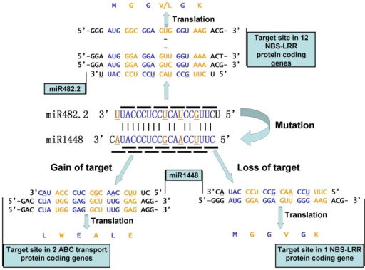 Patterns of gain and loss of target genes in miR1448 miRNAs.For the four nucleotide mutations that occurred in the mature sequence of miR1448 when compared to miR482.2, poplar miR1448 lost the control of most of the target genes (miR482.2 targeted 12 NBS-LRR protein-coding genes while miR1448 only targeted 1 NBS-LRR gene). On the other hand, through a frameshift-targeted mechanism, miR1448 captured two ABC transport protein-coding genes as target genes. The underlined nucleotide site in the miRNAs represents the substitution sites when miR1448 is compared to miR482.2.