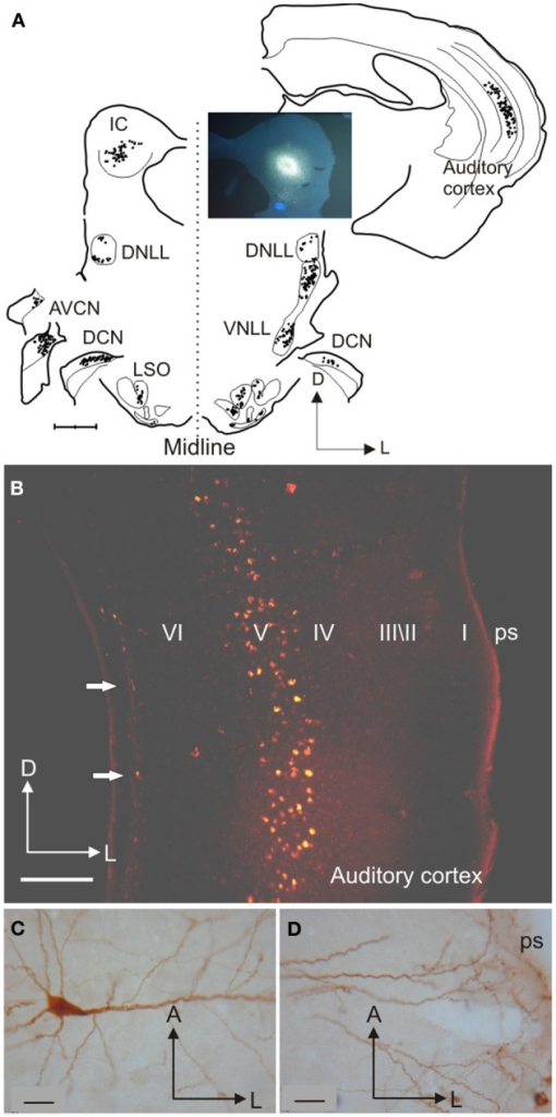 Inputs from different auditory centers converge in the IC. (A) A small fluorogold tracer injection in the ventromedial part of the IC central nucleus of the gerbil produces retrograde labeling of neurons in the MSO, periolivary nuclei, VNLL, and A1 on the same side, in the cochlear nuclei and IC on the opposite side, and in the LSO, DCN, and DNLL on both sides. (B) Retrogradely labeled cells in the cortex are found mainly in layer V after a rhodamine tracer injection in the IC. (C) Large labeled pyramidal cell with the soma located in cortical layer V and (D) a tufted dendritic tree ending in layer I. Calibration bars: 1 mm (A), 0.2 mm (B), and 25 μm (C,D). Modified with permission from Bajo and Moore (2005).