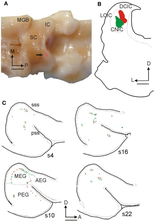Retrogradely labeled cells in ferret auditory cortex after fluorescent microbead injections in the IC. (A) Dorsal view of the ferret brain where both the cerebral cortices and the cerebellum were removed to visualize the thalamus and midbrain. A rhodamine microbead injection site can be seen in the left IC (arrow). (B) Coronal section at the level of the IC from this animal illustrating rhodamine and fluorescein microbead injection sites. (C) Drawings of tangential 50 μm sections spaced 300 μm apart from lateral to medial (s22 is the most medial) at the level of the left ectosylvian gyrus where the auditory cortex is located, showing green and red retrogradely labeled cells. Calibration bars: 2 mm (A,C) and 1 mm (B). Based on Bajo et al. (2007).