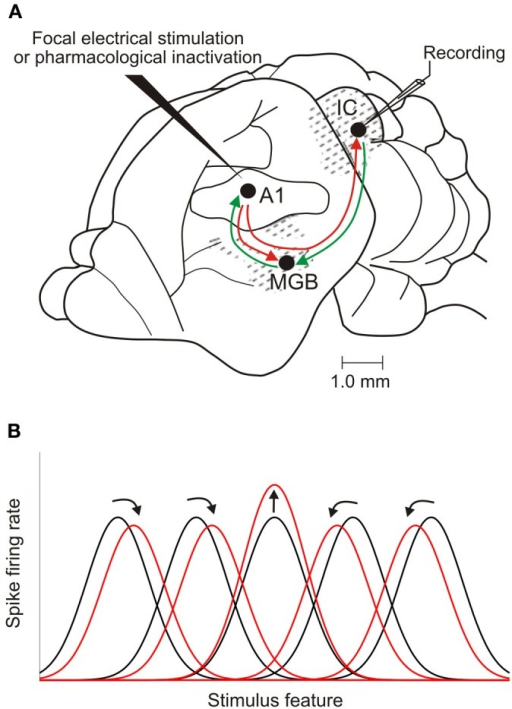 Corticofugal modulation of IC response properties. (A) Lateral view of the brain of a mustached bat, one of the species used most in cortical stimulation and inactivation experiments. The auditory cortex has reciprocal ascending and descending connections with the medial geniculate body (MGB) in the thalamus. It also sends a descending projection to the IC, which, in turn, projects to the MGB. (B) Focal electrical stimulation in the cortex results in facilitation of the responses of IC neurons that have tuning properties matched to those of cortical neurons at the site of the stimulating electrode. The tuning of unmatched IC neurons may shift toward that of the stimulated cortical neurons (as illustrated here), resulting in an expanded representation of the stimulus feature. Shifts in tuning away from that of the stimulated cortical neurons have also been described, compressing the midbrain representation. Adapted with permission from Suga (2012).