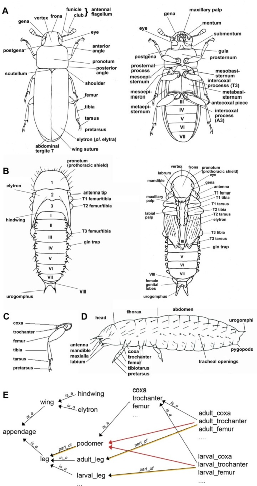Morphology of the red flour beetle Tribolium castaneum. | Open-i