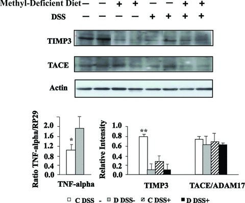 Effects of MDD on expression levels of TNF, TIMP3 and TACE in DSS-induced colitis in rats. Western blot analysis of TIMP3 and TACE expression (top and bottom right) and mRNA level of TNF determined by semi-quantitative real time RT-PCR, using PR29 as reference gene (bottom left). *TNF of C DSS− compared with D DSS−, P < 0.05; **TIMP3 of C DSS− compared with either D DSS−, C DSS+ or D DSS+, P < 0.01.