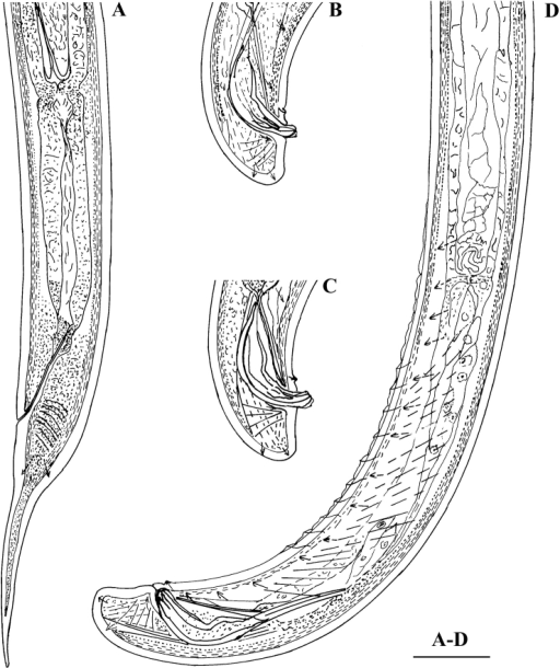 Calcaridorylaimus castaneae sp. n. Female: A Posterior region. Male: B, C Extruded spicules with supplements D Posterior region. Scale bar: A–D – 30 μm.