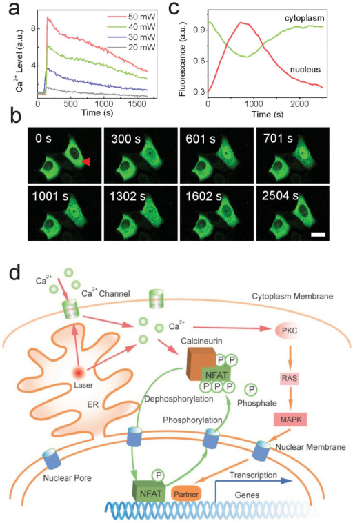 Scheme of all-optical regulation of gene expression method.(a). Typical cellular Ca2+ release after exposure of femtosecond laser at different powers (n = 20 cells in each experiment). The power density is around 3 × 105 W/cm2 at the mean power of 10 mW. (b). GFP-tagged NFAT migration into nucleus after the stimulation of femtosecond laser. Bar: 10 μm. (c). Normalized fluorescence intensity of NFAT-GFP in cytosol and nucleus respectively. Significant migration of NFAT appeared at the 12th minute. (d). Proposed mechanism of femtosecond-laser induced gene transcription. The femtosecond laser exposure releases Ca2+ store in ER and provides stress to Ca2+ channel in cytoplasm membrane. Subsequently, NFAT is dephosphorylated and migrate into nucleus regulated by calcineurin. After the activation of corresponding genes, NFAT then moves out and is phosphorylated again. In the activation of gene expression, NFAT may cooperate with other transcriptional partners.