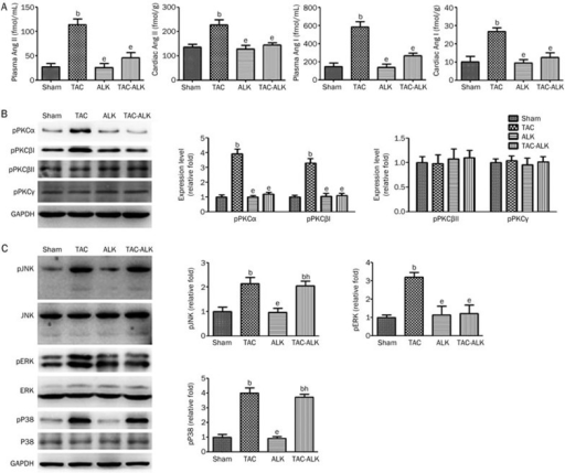 Effect of ALK on TAC-induced change in the levels of Ang I/Ang II, PKC isoforms, and MAPK. (A) Angiotensin concentrations in plasma and heart of experimental mice. Ang I, Angiotensin I; Ang II, Angiotensin II. (B) Representative gel blots and quantitative analysis of phosphorylated PKCα, βI, βII, and γ. (C) Representative gel blots of ERK, pERK, p38, pP38, JNK, and pJNK, and quantitative analysis of pERK, pP38, and pJNK. GAPDH served as the internal control. n=6. Mean±SEM. bP<0.05 vs Sham. eP<0.05 vs TAC. hP<0.05 vs ALK.