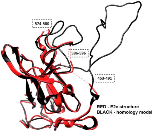 Comparison of the crystal structure of E2c with the homology model.Structural superposition between E2c crystal structure from the PDB chain 4mwf_D (red) and the homology model (black) is illustrated using a ribbon representation. The crystal structure and homology model overlap in most of the regions, except the fragments where coordinates in the experimental structure are missing (red dashed lines).