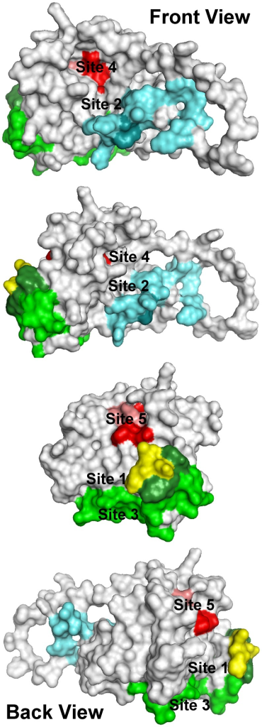 Location of ligand-binding sites on the E2 homology model used to select ligands for testing.Each of these sites either covers or is located immediately adjacent to amino acids or peptide segments of the E2 protein known to be important for HCV infectivity. H421–N423 (yellow): each amino acid in this region is important for infectivity. Antibodies binding to amino acids Y474–R492 (light cyan) have been shown to prevent infectivity, but this region of the protein has no effect on E2 binding CD81. W487 (dark cyan) is a key amino acid that is involved in E2 binding to E1. S522–G551 (light green) and Y527 and W529 (dark green) are critical for E2 binding to CD81. Site 4: P612, Y613, and H617–P619 (red) are critical for E2 binding to CD81; mutations to R614–W616 (pink) disrupt the structure of the region. The four views show the structure as it is rotated counterclockwise from left to right. Movie S1 shows the rotating structure.