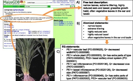 The method applied to annotate mutant phenotypes from textual descriptions. Textual descriptions from the literature or databases (A), based on observations of mutant plants, are first broken down into atomized statements corresponding to phenes (B) that are then represented with EQ statements (C).
