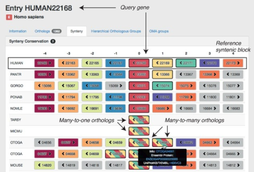 Screenshot of the new OMA synteny viewer with the ADH1A gene in human (Gene ID 22168) as query. Each gene is illustrated as a box containing a numerical OMA Gene ID and an arrow to indicate the gene's orientation. The colour of genes outside the query species indicates orthologous relationship with human genes, with bands of colour capturing many-to-one and many-to-many relationships. Genes that are non-orthologous to all nine human genes contained in this window are displayed in grey. The fragmented assemblies of tarsier (TARSY) and mouse lemur (MICMU) contain no genes next to 03287 and 02276, respectively.