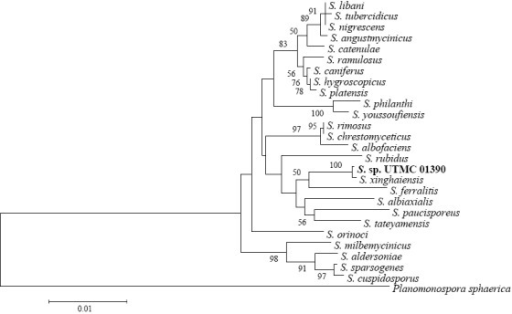 Phylogenetic trees of the 16S rRNA sequences of the selected strains A, Streptomyces sp. UTMC 01390, B, Streptomyces sp. UTMC 01392 and C, Streptomyces sp. UTMC 01397 (Bootstrap values under 50 are not shown)