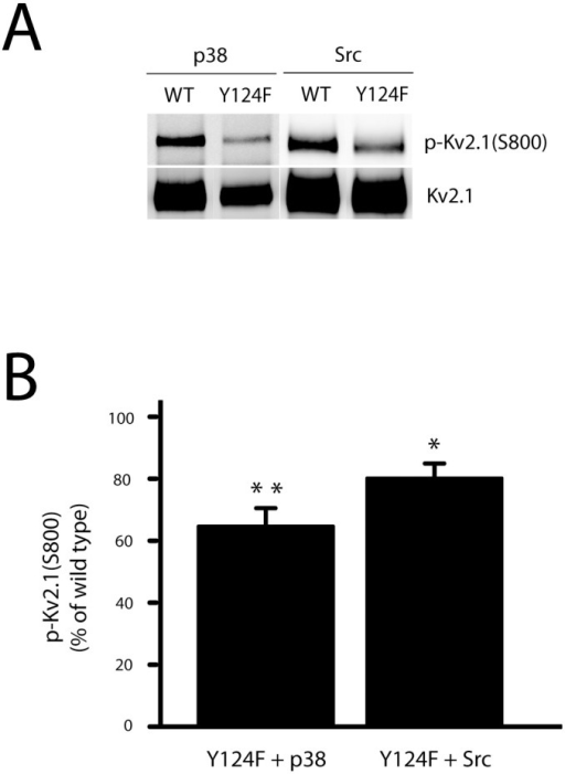 Kv2.1(Y124F) mutation blocks both Src- and p38-induced phosphorylation of Kv2.1 at S800.A, CHO cells were co-transfected with plasmid DNAs of Kv2.1 (10%) or Kv2.1(Y124F, 30%), and Src (15%) or p38 (15%). The membranes carrying with immunoprecipitated Kv2.1 protein complexes were co-probed with anti-Kv2.1 mouse monoclonal antibody and rabbit antibody specific against serine phosphorylation of Kv2.1 at S800, p-Kv2.1(S800). B, The signal densities of p-Kv2.1(S800) and total Kv2.1 proteins from Y124F mutants in either p38- or Src-expressing CHO cells (panels of Fig 2A) were quantified and the level of p-Kv2.1(S800) was expressed as a ratio of p-Kv2.1(S800) to total Kv2.1 protein and normalized to respective wild type controls (as 100%). The data represents mean ± SEM from 5 independent experiments for each condition (*p < 0.05 and **p < 0.01, one sample, two-tailed paired t test, vs. 100).