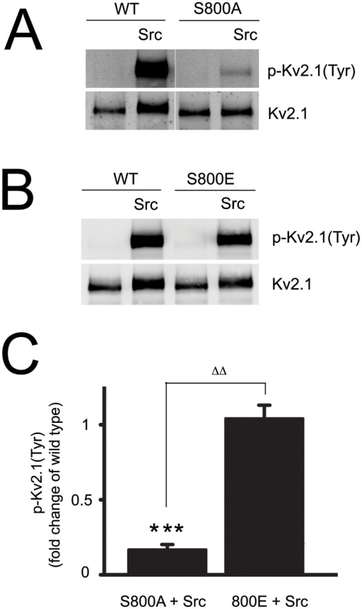 Src-induced tyrosine phosphorylation of Kv2.1 in CHO cells is significantly decreased in Kv2.1(S800A) mutants.A, CHO cells were co-transfected with plasmid DNAs of Kv2.1 (10%), Kv2.1(S800A) (10%), Src (15%) and vector controls. Protein samples were collected 24 h later and Kv2.1 protein was immunoprecipitated and transferred onto nitrocellulose membranes. The membranes were co-probed with mouse anti-phospho-tyrosine monoclonal antibody, p-Kv2.1(Tyr) and rabbit polyclonal antibody specific against total Kv2.1 (Kv2.1). B, CHO cells were co-transfected with plasmid DNAs of Kv2.1 (10%), Kv2.1(S800E) (10%), Src (15%) and vector controls, followed by experimental procedures described in Fig 3A. C, The signal densities of p-Kv2.1(Tyr) and total Kv2.1 proteins from Kv2.1WT, Kv2.1(S800A) and Kv2.1(S800E) were quantified as described earlier. The level of p-Kv2.1(Tyr) was expressed as a ratio of p-Kv2.1(Tyr) to total Kv2.1 protein and normalized to the tyrosine phosphorylation level of Kv2.1WT in CHO cells without Src overexpression. The data represents mean ± SEM from 4 independent experiments (***p < 0.001, compared with Kv2.1WT; one sample, two-tailed t test; and ΔΔp < 0.01, two-tailed, paired t test).