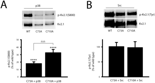 N- and C-terminal cysteine residues differentially influence Kv2.1 phosphorylation.A, CHO cells were co-transfected with plasmid DNAs of p38 (15%), and Kv2.1(WT) (10%), Kv2.1(C73A) (30%), or Kv2.1(C710A) (30%). The membranes with separated immunoprecipitated Kv2.1 protein complexes were co-probed with mouse anti-Kv2.1 monoclonal antibody and rabbit polyclonal antibody specific against serine phosphorylation of Kv2.1 at S800, p-Kv2.1(S800). The level of p-Kv2.1(S800) was calculated from the ratio of p-Kv2.1(S800) to total Kv2.1 protein, and then normalized to the level of p-Kv2.1(S800, WT) in p38-transfected CHO cells. The values represent mean ± SEM from 7 independent experiments (****p < 0.0001, compared with Kv2.1WT; one sample, two-tailed t test; and ΔΔΔp < 0.001, two-tailed paired t test). B, CHO cells were co-transfected with plasmid DNAs of Src (15%), and Kv2.1 (WT, 10%), Kv2.1(C73A, 30%), or Kv2.1(C710A, 30%). Immunoblot was co-probed with rabbit anti-Kv2.1 polyclonal antibody (Kv2.1) and mouse anti-phosphotyrosine antibody, p-Kv2.1(Tyr). The signal densities of p-Kv2.1(Tyr) and total Kv2.1 proteins from Kv2.1WT, Kv2.1(C73A) and Kv2.1(C710A) were quantified as described above. The level of p-Kv2.1(Tyr) was calculated as the ratio of pKv2.1(Tyr) to total Kv2.1 protein and normalized to tyrosine phosphorylation of Kv2.1WT in CHO cells with Src overexpression. Similar p-Kv2.1(Tyr) levels were detected in Src-expressing CHO cells in WT, C73A and C710A groups.