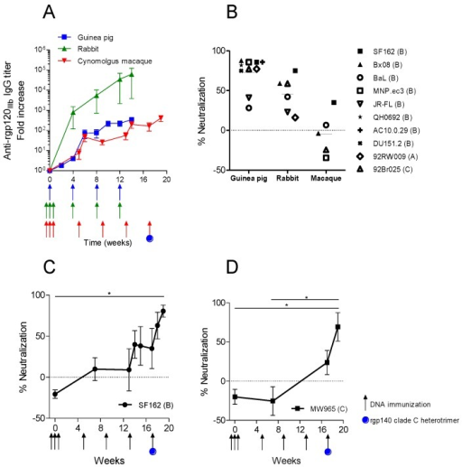 Comparison of immune response in guinea pigs, rabbits and cynomolgus macaques immunized with plasmid DNA encoding syn.gp140mix. (A) Average IgG response against rgp120IIIb in immunized animals (n = 4). Immunization time points are indicated with arrows. IgG titers in rabbits and guinea pigs were derived from Figure 2A,C. (B) Average percent neutralization against pseudotype virus strains of clade A–C, by week 14 rabbit IgG or guinea pig sera and week 17 macaque sera. From rabbit sera, IgG was purified and used in neutralization at one fixed concentration (250 or 400 µg/mL). Sera from guinea pigs and macaques were diluted 20 and 30 times, respectively, and used in neutralization. Neutralization results of rabbit and guinea pigs were derived and recalculated from Figure 2B,D. (C and D) Macaque sera was tested for neutralization at 1/30 dilution against SF162 and MW965 viruses with the addition of a final immunization with DNA and protein at w17 (* p < 0.001, One-way ANOVA, Friedman's test with Dunn's Multiple Comparison Test).
