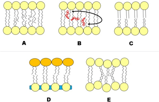 Putative transbilayer coupling mechanisms in asymmetric lipid membranes.  Asymmetric lipids containing fatty acid chains of differing length have been observed to interdigitate;  Trans-bilayer cholesterol (Chol) movement;  the ordered leaflet induces order to the less ordered leaflet;  the area per lipid of one leaflet influences the area per lipid of the other, and vice versa. Such an area difference can arise from lipid species or charge differences between monolayers;  Curvature and/or microemulsion in one leaflet can be transferred to the other.