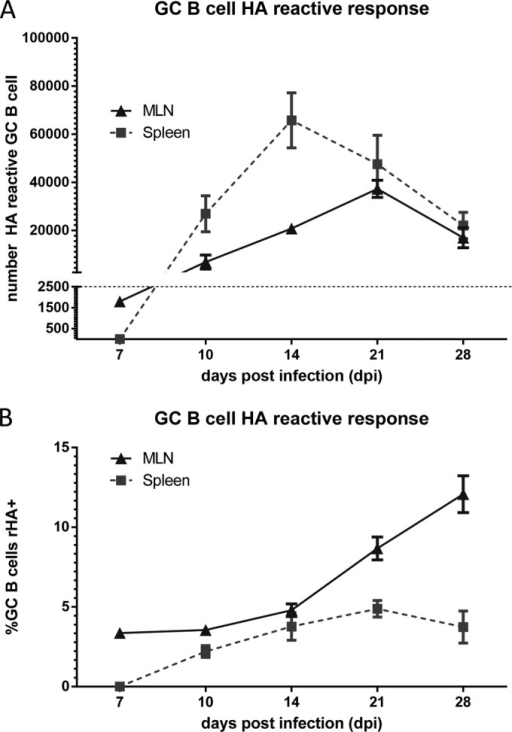 HA-specific GC B cells exhibit different responses in local versus central lymphoid organs. At the indicated times after PR8 i.n. infection, we removed MLN or spleens, dispersed them into single-cell suspensions, and stained GC B cells with rHA. Line graphs indicate the absolute number (A) and frequency (B) of GC B cells specifically binding rHAPR8 (based on a staining concentration of 66 nM) over time in the MLNs and spleens. MLN GC B cells binding rHAPR8 form earlier (7 dpi) but peak later (21 dpi) than spleen-resident GC B cells, which do not appear until after 7 dpi and peak at 14 dpi. Data are representative of 3 to 6 independent experiments.