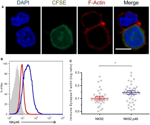 NKp46 over-expression increases F-actin rearrangement at the immune synapse. (A) Representative micrograph of NK92 cell co-incubated with CFSE-labeled (green) target cell, fixed and permeabilized, and stained for F-actin using Rhodamine Phalloidin (red) and DAPI (blue) for nucleus labeling. Scale bar = 10 μm. (B) Flow cytometry analysis of NKp46 expression NK92 (dashed line), NK92.p46 (solid line) cells, and isotype antibody staining (gray-filled graph). (C) Calculated ratio of synapse specific F-actin (Figure S2 in Supplementary Material) is presented for multiple effector-target conjugations from three independent experiments (x, n = 32) as log values and is representative of three repeated experiments. Graph bars show mean ± SEM. *p < 0.05, Student's t-test.