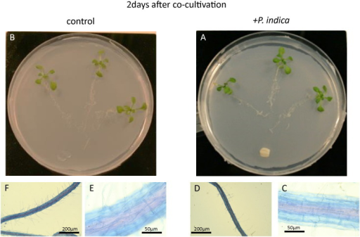 A. thaliana co-cultivation with P. indica (A, C, D) or mock-treated (B, E, F) after 2 days. Visible light microscopic view of A. thaliana root stained with trypan blue (C, D, E, F) after 2 days of co-cultivation with P. indica (C, D) or mock-treated (E, F). The roots were stained with trypan blue.